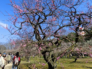 Japanese Plum Trees