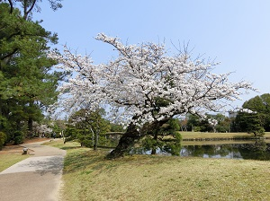 Cherry Blossoms in Shurakuen Garden