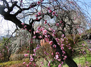 Plum Blossoms in Handayama Botanical Garden