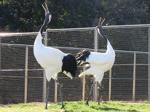 Red-Crowned Cranes in Kibiji Tsurunosato