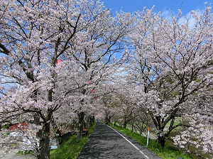 Tunnel of Cherry Blossoms in Ibara City