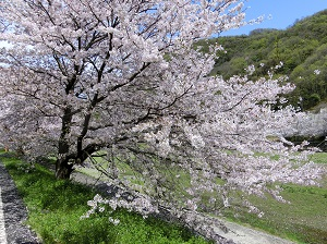 Cherry Blossoms in Ibara City